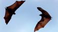 Giant fruit bats in flight