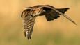 A hovering merlin (c) Linda Lyon