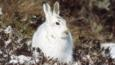 Mountain hare in white winter coat stting on dark ground