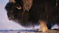 Musk ox portrait showing head and fur