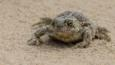 A natterjack toad in the sand (c) Tim Melling