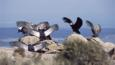 A group of Andean condors drying their wings