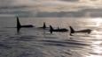 A pod of orcas out at sea at dawn