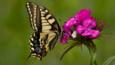 Swallowtail on a pink flower (c) Trevor Hannant