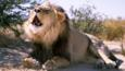 Male African lion roaring