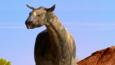 Close-up of a Paraceratherium walking in the desert
