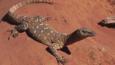 A perentie monitor lizard