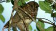 Grey cuscus in a tree