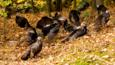 A group of wild turkeys in woodland amongst the leaf litter