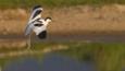 Avocet landing in water