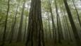 Black pines and beech trees in the mist