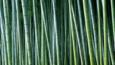 A dense group of bamboo stems in the woods