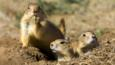 Black-tailed prairie dogs in their burrow