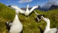 A small group of wandering albatrosses displaying during the mating season
