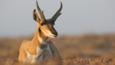 Pronghorn antelope buck sitting