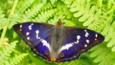 Purple emperor butterfly with open wings on an oak leaf