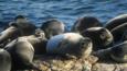 Baikal seals hauled up on shore beside Lake Baikal