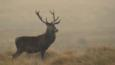 Red deer stag in the mist (c) James Morris
