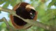 Red ruffed lemur curled around a tree branch