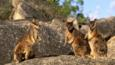 Group of rock wallabies standing on rocks