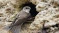 Sand martin at nest entrance