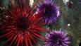 Red and purple sea urchins on the seabed