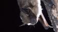 Serotine bat resting on a tree trunk
