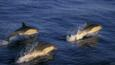 Short beaked dolphins jumping out of the water