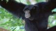 Male Siamang gibbon in tree