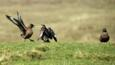 Great skuas fighting on ground