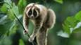 Slow loris climbing through vegetation