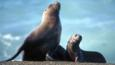 South American sea lion with young