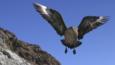 South polar skua flying towards camera