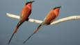 A pair of carmine bee-eater birds on a branch