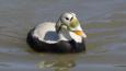 Spectacled eider duck male in breeding plumage on water