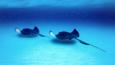 Two southern stingrays swim over the sea bed