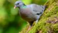Stock dove on moss (c) George Findlay