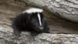 A skunk in a hollow tree