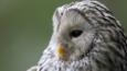 Ural owl portrait