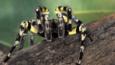 Indian tarantula climbing over a log