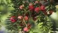 Berries of the common yew tree