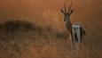 Thomson's gazelle on savanna at sunrise