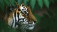 A Siberian tiger amongst green foliage