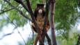 A tree kangaroo in a tree