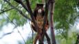A tree kangaroo in a tree