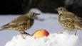 A pair of mistle thrushes eating a apple in the snow
