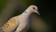 Profile of a turtle dove
