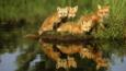 A family of red fox reflected in a pond