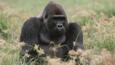 Male gorilla sitting amongst Congo sedge nutgrass