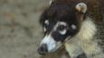 Portrait of a white-nosed coati